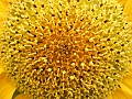 Center of a sunflower blossom (Helianthus)